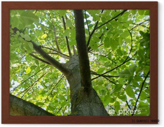 Ceviz ağacının altında neden oturulmaz?
